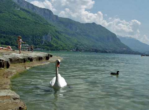 лебеди в Анси