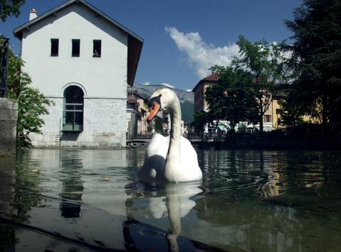 Лебедь в городском канале